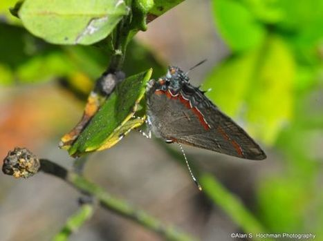 Red-banded Hairstreak at the L-28 Levee | Fotógrafos na minha rede | Scoop.it