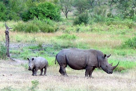 South African Police Officer Held over Attempted Rhino Poaching | What's Happening to Africa's Rhino? | Scoop.it