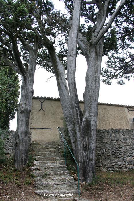 Les vieux cyprès de la chapelle St-Roch à Montolieu, Aude | Confidences Canopéennes | Scoop.it