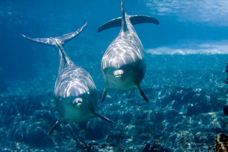 Do Stoned Dolphins Give 'Puff Puff Pass' A Whole New Meaning? - Science Sushi | DiscoverMagazine.com | All about water, the oceans, environmental issues | Scoop.it