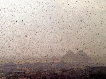 Trois Semaines avant Pessah : une invasion de sauterelles en Egypte | Égypt-actus | Scoop.it