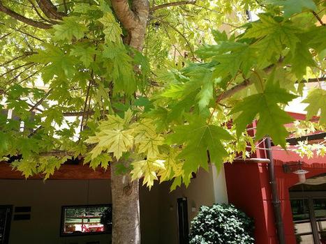 Jardineria Natural. Un Jardí per Menjar-se'l.: Clorosis Fèrrica en Arbres | EL RACÓ DE LA JARDINERIA | Scoop.it