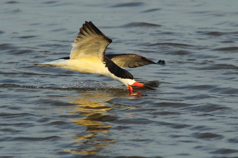 Five Years After Deepwater Horizon Spill, Growing Gulf-Wide Effort Protects ... - Surfbirds News (blog) | Natural History, Science, & Green Technology | Scoop.it