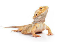Pet Owners: Salmonella Cotham Infections Linked to Pet Bearded Dragons | CDC | Medical Microbiology & Infectious Disease | Scoop.it