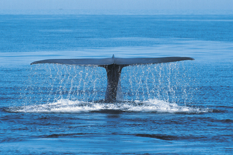 Court to rule on Japan's whale hunt - 3News NZ | Marine Conservation | Scoop.it
