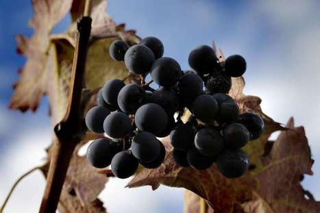 California taps into bright young things of harvest: Nouveau wines | Vinideal - A la recherche de votre Vin Idéal ! www.vinideal.com | Scoop.it