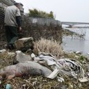 China's Rivers Rife with Dead Ducks, Pigs | Littlebytesnews Current Events | Scoop.it