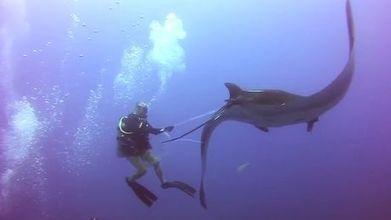 Un plongeur vient en aide à une raie géante empêtrée dans un filet | Rays' world - Le monde des raies | Scoop.it