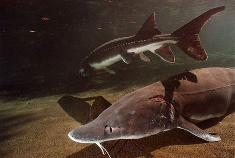 Columbia River sturgeon deaths could be linked to diseased salmon ... - OregonLive.com   Fish Habitat   Scoop.it