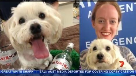 Insolite : un chien empoisonné sauvé grâce à … de la vodka ! | CaniCatNews-actualité | Scoop.it