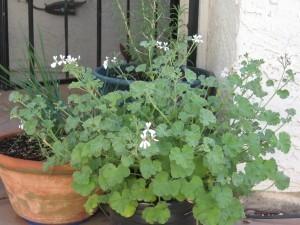 Scented Geraniums Outlasting Desert Summers | Annie Haven | Haven Brand | Scoop.it