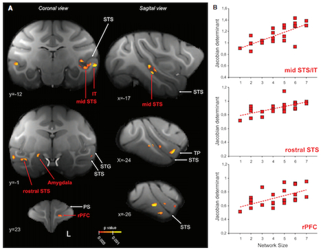 Social Networks Matter: Friends Increase the Size of Your Brain | The Primate Diaries, Scientific American Blog Network | Global Brain | Scoop.it