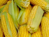 Ukraine will become a world leading maize exporter | MAIZE | Scoop.it