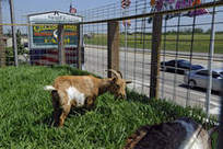 Going green, with goats - Chicago Sun-Times | Vertical Farm - Food Factory | Scoop.it