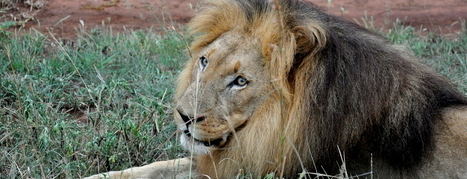 Why the African Lion is Important to the Ecosystem | Human-Wildlife Conflict: Who Has the Right of Way? | Scoop.it