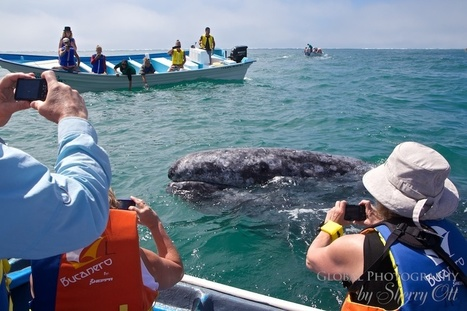 Petting Whales in Magdalena Bay | Baja California | Scoop.it