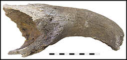 Antiquity Vol 87:335, 2013 pp 108-120 - Jayson Orton and others - An early date for cattle from Namaqualand, South Africa: implications for the origins of herding in southern Africa | World Neolithic | Scoop.it