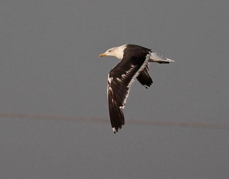 Baltic Gull in Late Autumn   Bird ID   Scoop.it