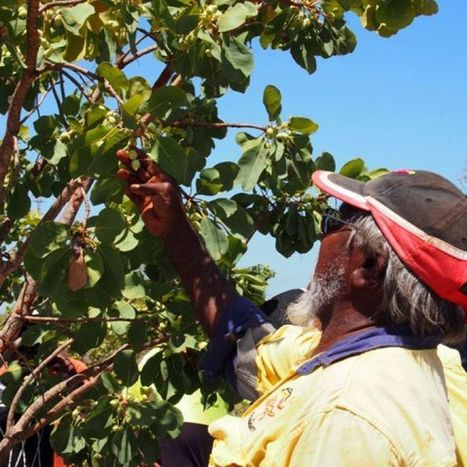 Kimberley community starts harvesting 'Kakadu plum' super fruit | Australian Plants on the Web | Scoop.it