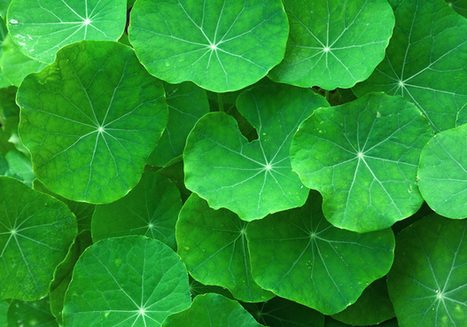 Gotu Kola: The Many Benefits of the Ancient Herb of Enlightenment | HealersJournal | Scoop.it