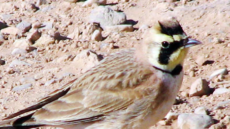 Flight Lines: The most common bird no one knows - West Fargo Pioneer | Birds | Scoop.it