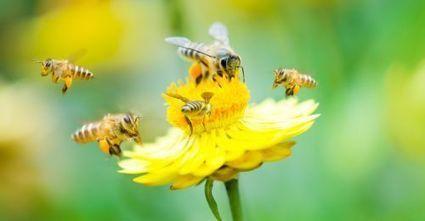 Oui, les insecticides sont bien mortels pour les abeilles sauvages | Epicurist: In Victus Veritas | Scoop.it