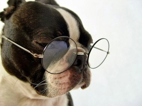 Daily Funny Dog Pictures: Boston Terrier Professor | Funny Animal Pictures | Scoop.it
