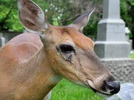Memorial to be held for Ella the deer | Honoring Lives | Scoop.it
