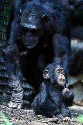 Chimpanzees show ability to plan route in computer mazes | animals and prosocial capacities | Scoop.it