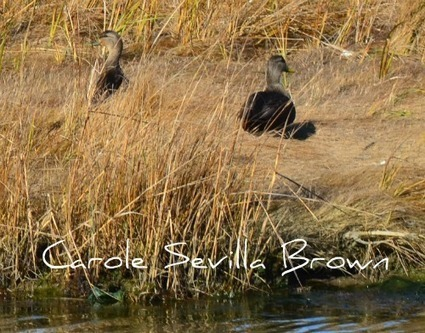 Birding Brigantine NWR | Birds and Birding | Scoop.it