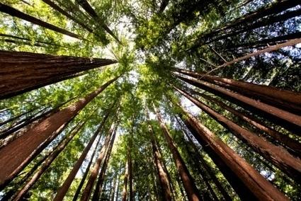 5 Lecciones sobre el Liderazgo y la vida de los árboles Redwood de California   Liderazgo Hoy   InforSeminario   Scoop.it