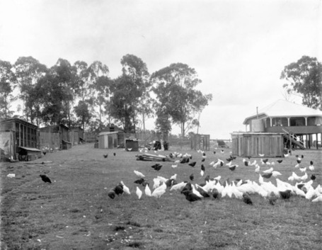 Brisbane Poultry Farm 1918 | Big Picture Agriculture | Organic Farming | Scoop.it