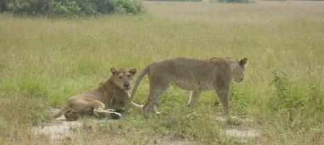 Primate Safaris Archives - Monkey Tour Safaris   Uganda Travel Ideas   Scoop.it