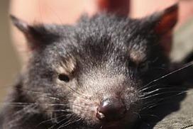 Tasmanian devils born in NSW   Devil Facial Tumour Disease   Scoop.it