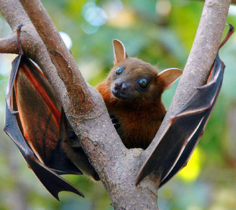 Old World Fruit Bats Use Unique Form of Echolocation, Click Sounds From Wings | Amazing Science | Scoop.it