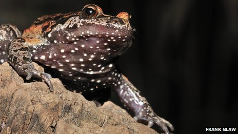 Rediscovered frog is 'living fossil' | Sizzlin' News | Scoop.it