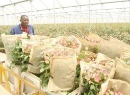 Karuturi flower farm workers down their tools | Daraja.net | Scoop.it