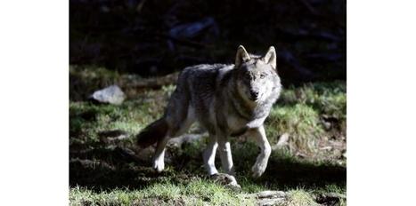 Les agriculteurs ne veulent plus du loup comme espèce protégée | Sauvegarde et Protection des animaux | Scoop.it