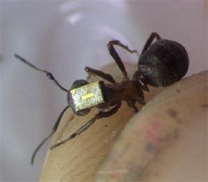 Des fourmis équipées d'émetteur radio pour surveiller le comportement d'une colonie | EntomoNews | Scoop.it