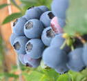 Flavonoids from blueberries and other fruits dramatically lower risk of diabetes | Bien-Être global | Scoop.it