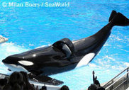 30 Years and Three Deaths: Tilikum's Tragic Story. | #OrcaAvengers | Scoop.it