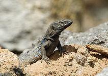 El lagarto canario abre una vía de esperanza para las lesiones ... - Crónicas de Esperantia | Marine Pond Garden | Scoop.it