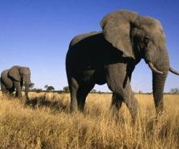 Researchers count Elephants to know their recent Population decline   French Tribune   Oceans and Wildlife   Scoop.it