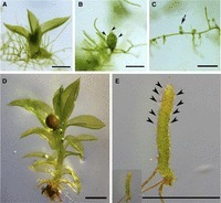 Genetic Analysis of DEFECTIVE KERNEL1 Loop Function in Three-Dimensional Body Patterning in Physcomitrella patens | plant cell genetics | Scoop.it