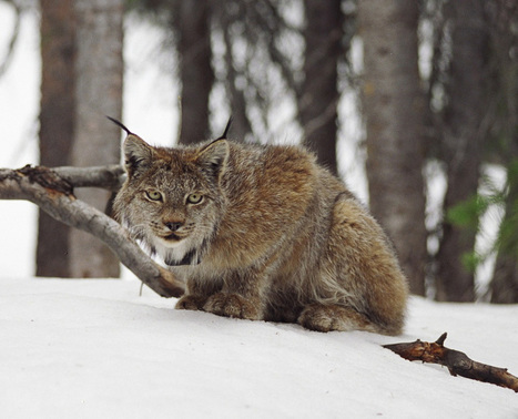 For the third time in ten years, a judge orders the U.S. Fish and Wildlife Service to consider critical habitat for lynx in Colorado | Farming, Forests, Water, Fishing and Environment | Scoop.it