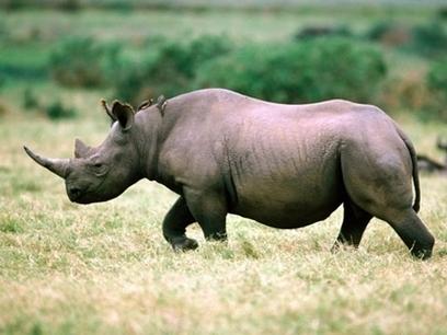 Vietnam not penalized for rhino horn trafficking - VietNamNet Bridge | Kruger & African Wildlife | Scoop.it