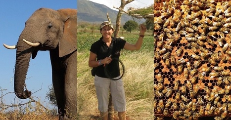 We've figured out how to solve human-elephant conflict. It takes bees. Lots of bees. | enjoy yourself | Scoop.it