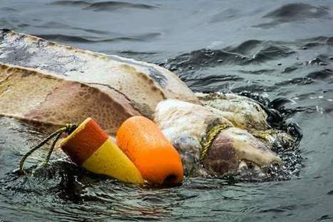 Leatherback turtle dies entwined in fishing lines off Golden Gate | All about water, the oceans, environmental issues | Scoop.it