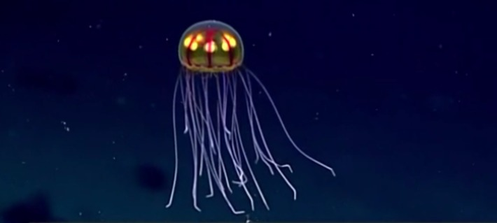 NOAA Researchers capture video of unknown jellyfish - 12000 feet deep | Scuba Diving News | Scoop.it