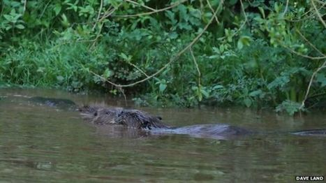 River Otter beavers 'native to UK', tests find | Farming, Forests, Water & Fishing (No Petroleum Added) | Scoop.it